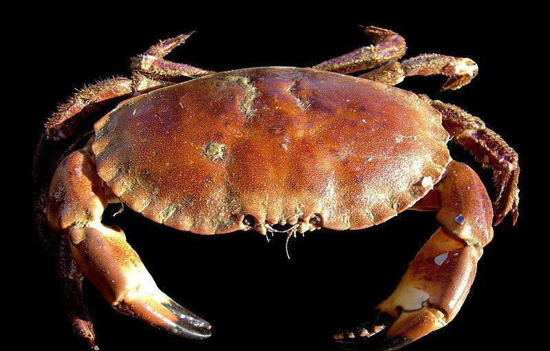 Kjenner du krabben Krølle?